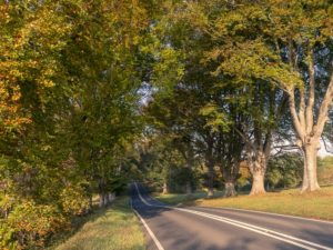 Beech avenue in autumn near Badbury Rings, Dorset